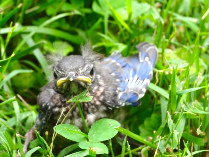Bluebird Flegeling